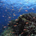 西表ダイビング ブルーシーズン西表 サンゴ礁 茨城ダイビング クレセント