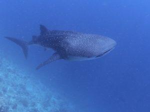 モルジブ ジンベエザメ 南アリ環礁